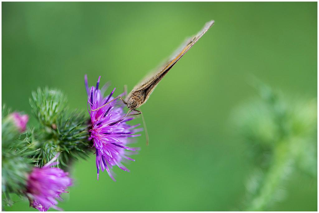 bruin zandoogje vrouwtje (1)
