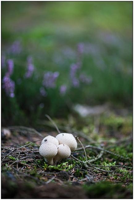 paddenstoelen-erica