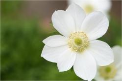 anemonen-1-4