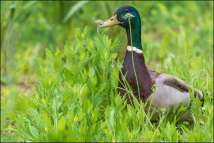 wilde eend - mallard duck
