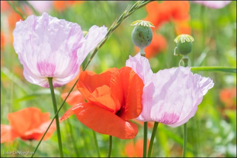 slaapbol - opium poppy - klaproos-5557