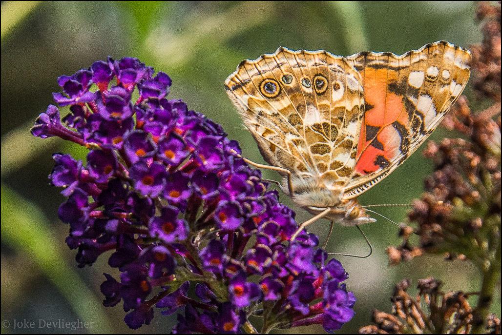 vlinder-9028